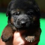 Cuccioli-pastori-tedesco-roma1